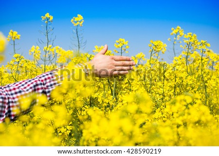 Man touching rapeseed flowers - stock photo