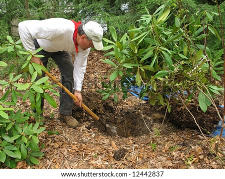 Man transplanting rhododendron - stock photo