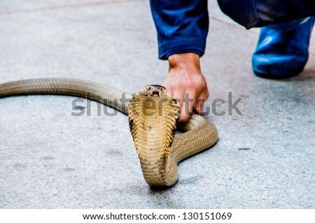Man use olny hand hold a King cobra - stock photo