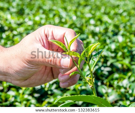 Man used hand holding green tea leaf - stock photo