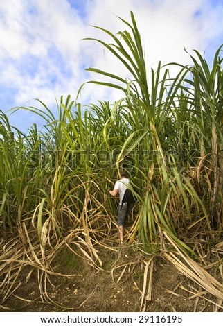 Man walking in sugar plantation - stock photo