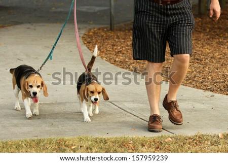 Man walking two beagle Dogs on lead - stock photo
