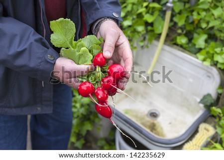 man washing and cleaning fresh picked radish.  senior working in vegetable garden. - stock photo
