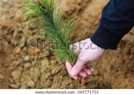 Man With Blue Sweater Planting Small Christmas Tree In Silty Soil Ground With Bare Hands - stock photo