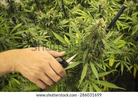 Man with Scissors Trimming Marijuana Plant - stock photo
