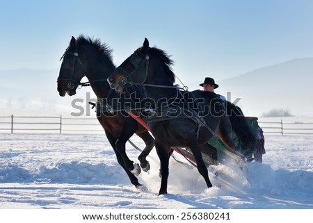man with sledge pulled by horses outdoor in winter - stock photo