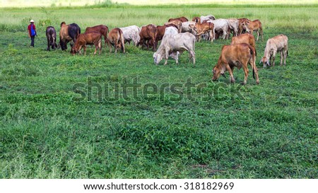 Man with the cattle out for grazing grass which is rich and fertile rice fields of Thailand. - stock photo