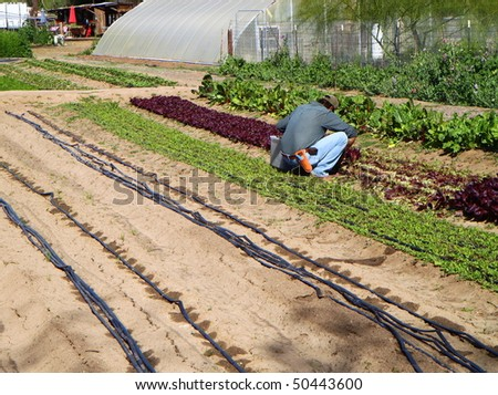 man working in a garden providing organic food to the restaurants - stock photo