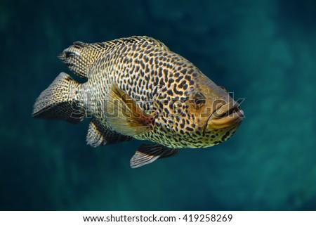 Managuense cichlid or Jaguar (Parachromis managuensis) - stock photo