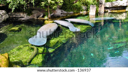 Manatees Resting In The Water #2 - stock photo