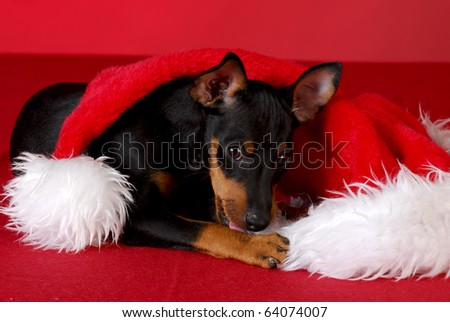 manchester terrier puppy chewing on santa hat with red background - stock photo