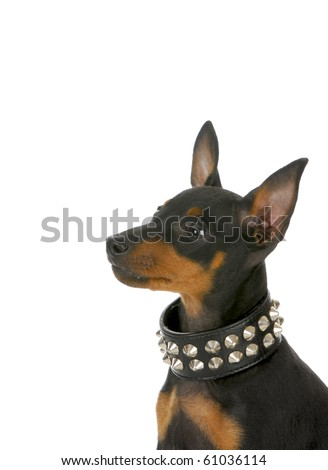 manchester terrier puppy wearing leather studded collar looking up on white background - stock photo