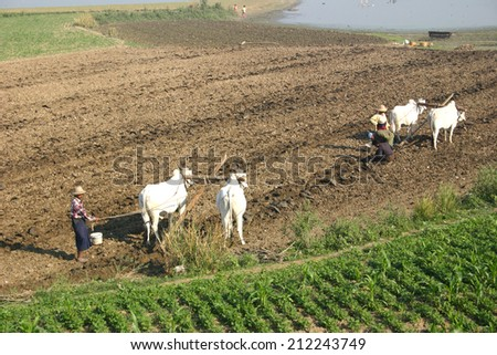 MANDALAY, MYANMAR-JANUARY 3, 2010:  Farmers plow the land on a small farm outside Mandalay using  brahman cattle to turn the soil.  Modern farm equipment is almost non-existent in the countryside. - stock photo