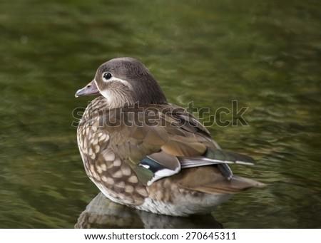 Mandarin Duck (Aix galericulata) spotted outdoors in Phoenix Park, Dublin, Ireland - stock photo