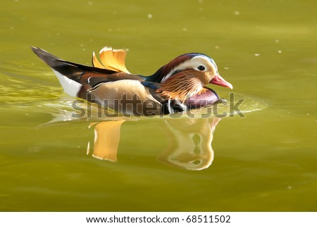 Mandarin Duck Drake on water in summer