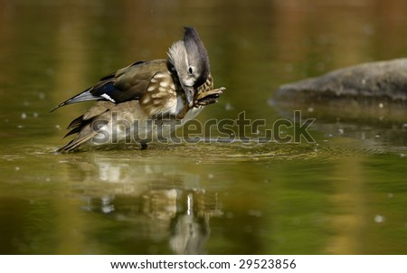 Mandarin Duck Female - stock photo