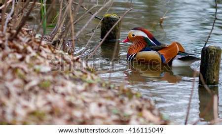 mandarin duck on the brown ground in spring - stock photo
