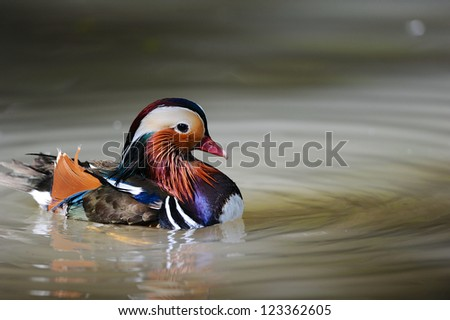 Mandarin Duck swimming in a pond - stock photo