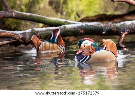 Mandarin ducks on water in ZOO Liberec - stock photo