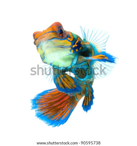 mandarin fish dragonet isolated on white background - stock photo