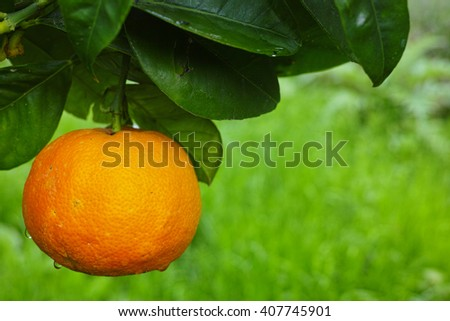 Mandarin orange tree with ripe mandarin fruit in the garden - stock photo