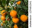 mandarin oranges - stock photo