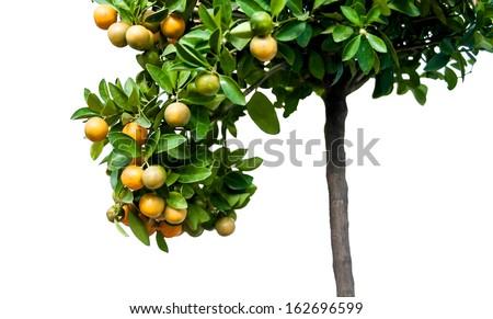 mandarin oranges growing on a tree isolated - stock photo