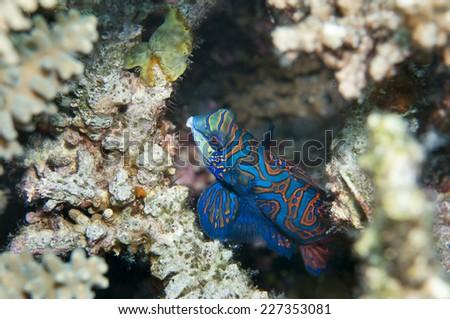 Mandarinfish in Coron, Philippines. - stock photo