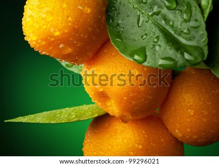 Mandarins branch with water drops on dark green background - stock photo