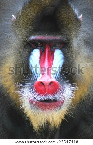 Mandrill at Houston Zoo