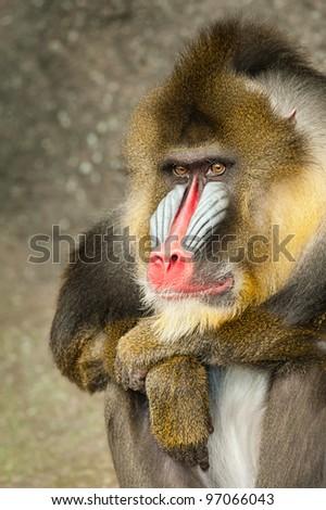Mandrill (Mandrillus sphinx) - stock photo