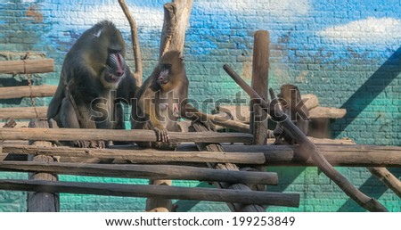 mandrill (Mandrillus sphinx) is a primate of the Old World monkey (Cercopithecidae) family - stock photo