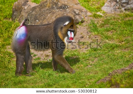 Mandrill (Mandrillus sphinx). Photo depicts primate with olive-colored fur and the colorful face. - stock photo