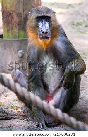 Mandrill monkey in the zoo - stock photo