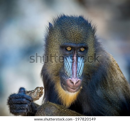 Mandrill monkey with colorful face - stock photo