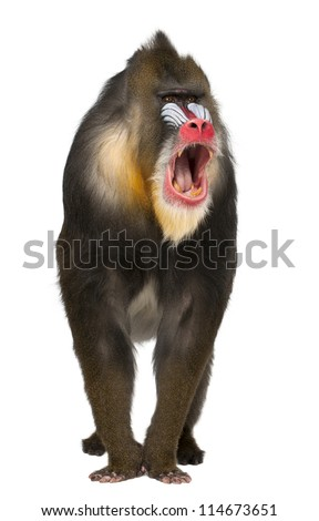 Mandrill shouting, Mandrillus sphinx, 22 years old, primate of the Old World monkey family against white background - stock photo
