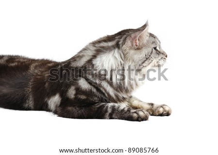 Mane coon male cat (2 years old) in studio on a white background - stock photo