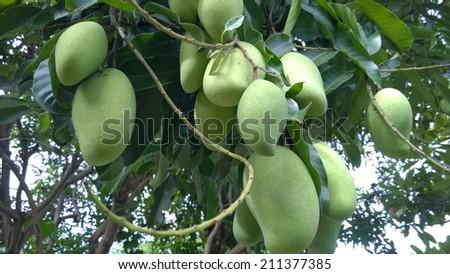 Mango hanging on tree - stock photo