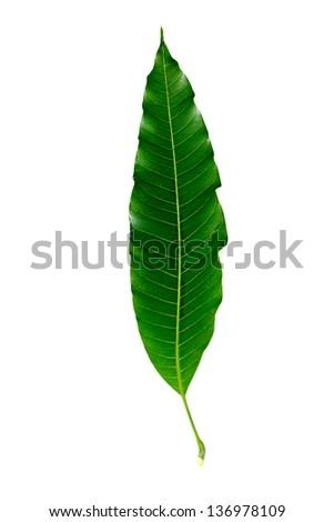 Mango leave - stock photo
