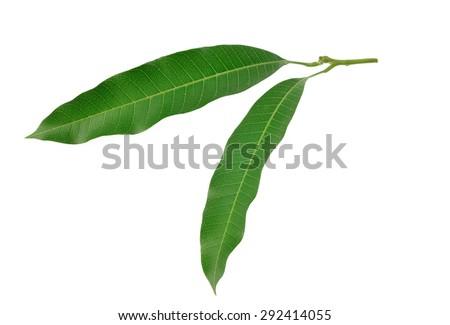 mango leaves - stock photo