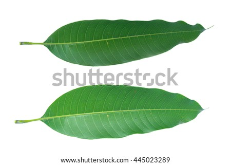 mango leaves with drops isolated on a white background