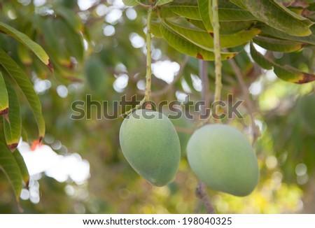 mango on tree  - stock photo