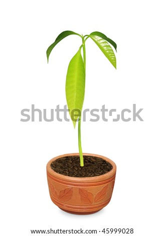 Mango Seedling on a Clay pot
