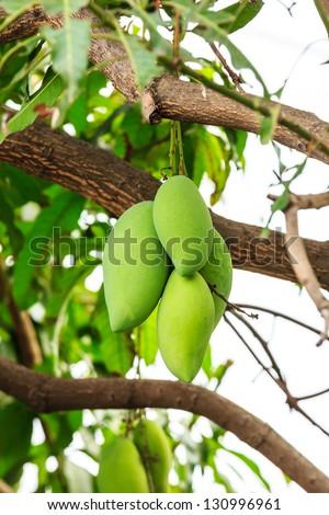 mangoes on mango tree - stock photo