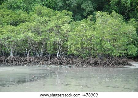 Mangrove at Cape Tribulation - stock photo