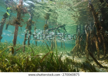 Mangrove ecosystem underwater with school of juvenile fish and tree roots of Rhizophora mangle, Caribbean sea - stock photo