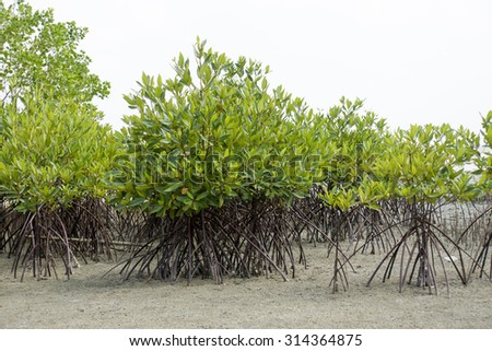 Mangrove forest and white sky, At Ta lum pook promontory of Thailand. - stock photo
