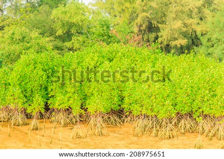 Mangrove forest at low tide time in afternoon. - stock photo