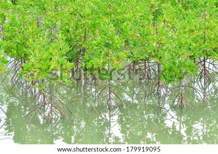 Mangrove forest at Surin island, Thailand. - stock photo