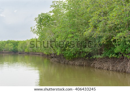 Mangrove forest, Beautiful blue sky and tropical mangrove forest at Krabi,Thailand. Intertidal forest. important for ecology coast and co-operation community. (Un-focus image) - stock photo